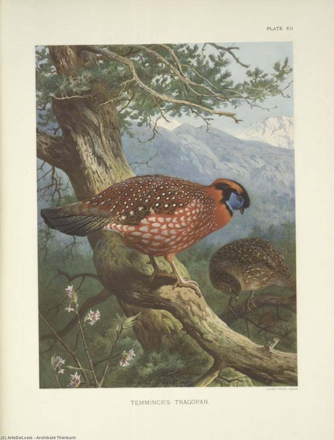 Temminck's Tragopan ( tragopan temmincki ), acquerello di Archibald Thorburn (1860-1935, United Kingdom)