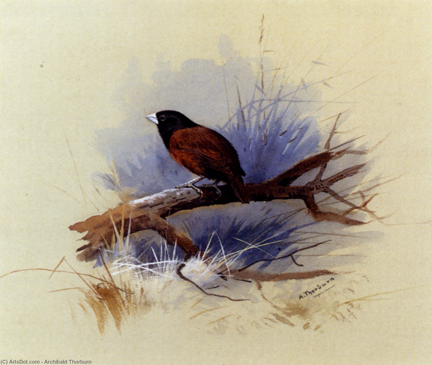 Un Nepalese Black-Headed Suora nel ramo di un albero, acquerello di Archibald Thorburn (1860-1935, United Kingdom)