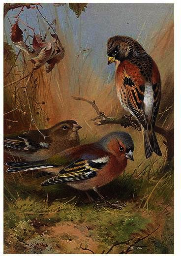 Un Peppola E Due Fringuelli, acquerello di Archibald Thorburn (1860-1935, United Kingdom)