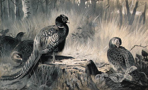 Un cazzo e tre Gallina Fagiano in un bosco Glade, acquerello di Archibald Thorburn (1860-1935, United Kingdom)