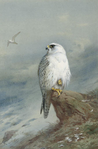 A Greenland Falcon, acquerello di Archibald Thorburn (1860-1935, United Kingdom)