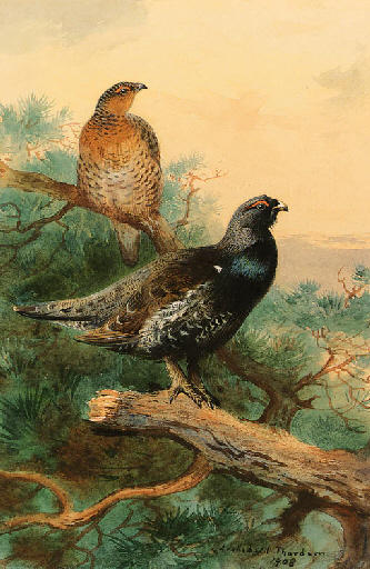 Un Paio Di Capercaillie In Un Albero, acquerello di Archibald Thorburn (1860-1935, United Kingdom)