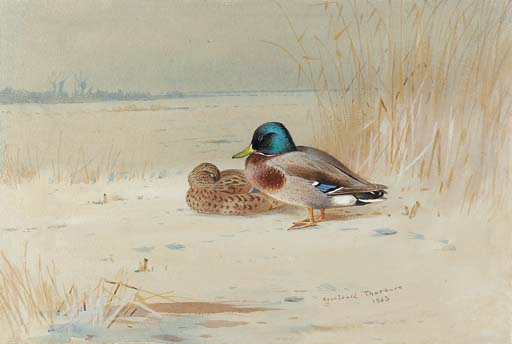 un paio di mallards , sul bordo di un lago, acquerello di Archibald Thorburn (1860-1935, United Kingdom)