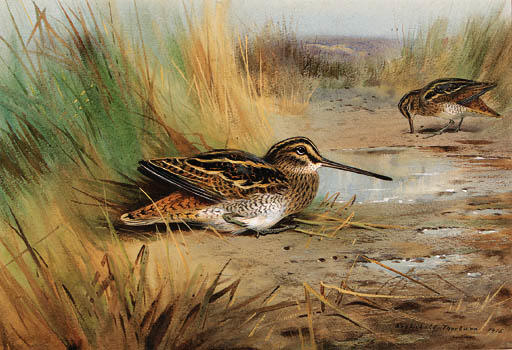 Un Paio Di Snipe, acquerello di Archibald Thorburn (1860-1935, United Kingdom)
