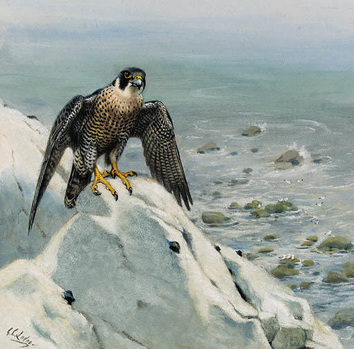 Un Falco pellegrino On A Cliff, acquerello di Archibald Thorburn (1860-1935, United Kingdom)