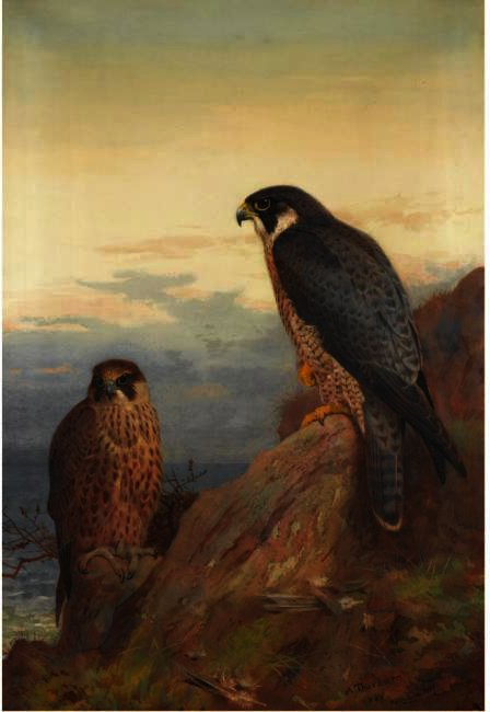Un adulto e Immaturo Peregrine, acquerello di Archibald Thorburn (1860-1935, United Kingdom)