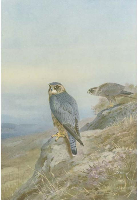 Birds Of Prey, acquerello di Archibald Thorburn (1860-1935, United Kingdom)