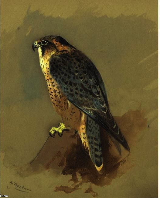 Britannico Peregrine Falcone, acquerello di Archibald Thorburn (1860-1935, United Kingdom)
