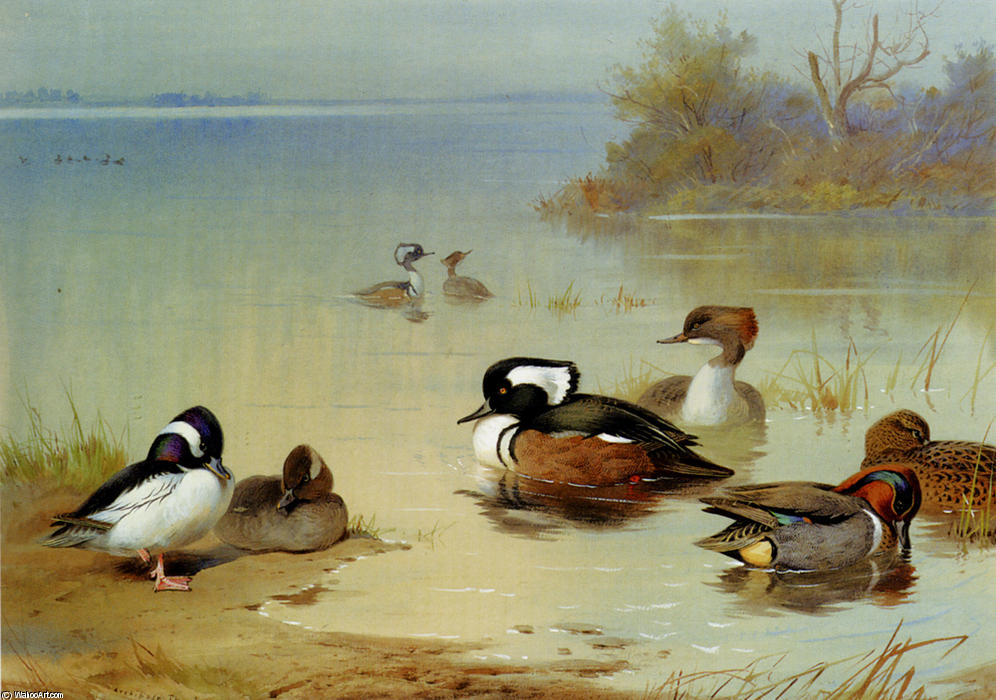 Buffel-Headed Anatra , , Indiano Green-Winged teal e incappucciati Smergo, acquerello di Archibald Thorburn (1860-1935, United Kingdom)