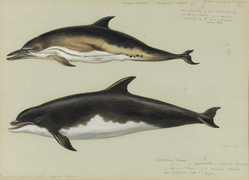 comune delfino e `bottlenose` delfino, acquerello di Archibald Thorburn (1860-1935, United Kingdom)