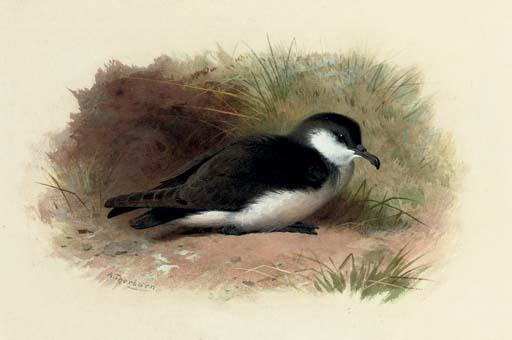 Dusky Shearwater, Puffinus Obscurus, acquerello di Archibald Thorburn (1860-1935, United Kingdom)