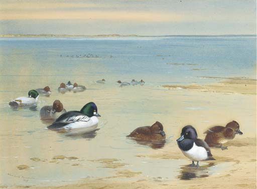 Goldeneye E Moretta, acquerello di Archibald Thorburn (1860-1935, United Kingdom)