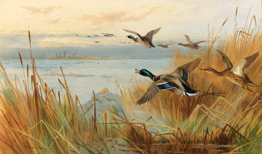 Mallard In Volo, acquerello di Archibald Thorburn (1860-1935, United Kingdom)