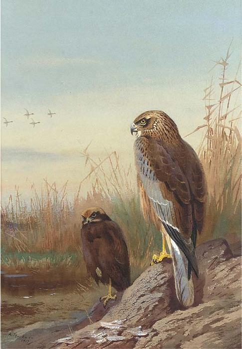 Falco di palude, acquerello di Archibald Thorburn (1860-1935, United Kingdom)