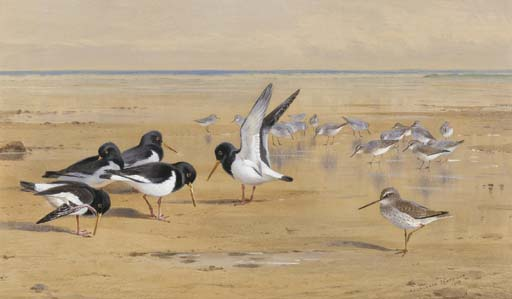 Oyster Catchers, Pettegola e Piovanello pancianera, acquerello di Archibald Thorburn (1860-1935, United Kingdom)
