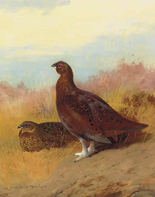 rosso Gallo cedrone , acquerello di Archibald Thorburn (1860-1935, United Kingdom)