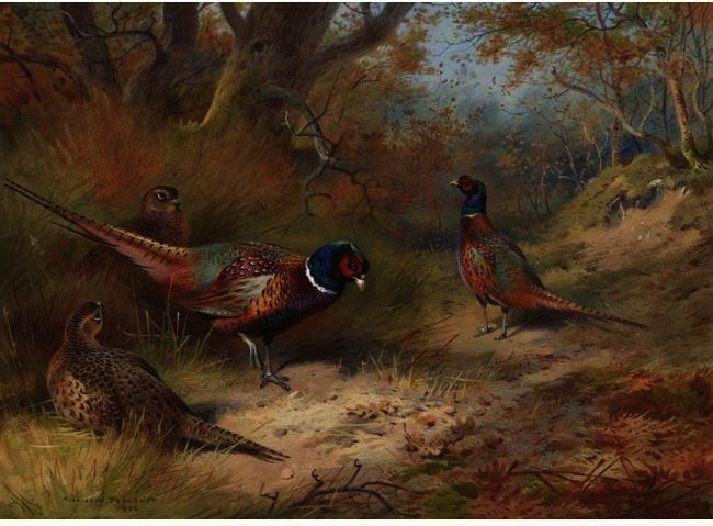 Anello collo Fagiani, acquerello di Archibald Thorburn (1860-1935, United Kingdom)