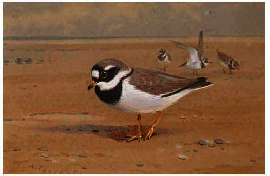 Anello Plover, acquerello di Archibald Thorburn (1860-1935, United Kingdom)