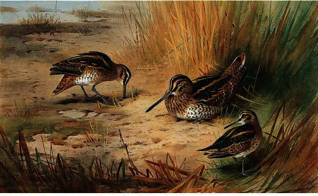 Snipe 1, acquerello di Archibald Thorburn (1860-1935, United Kingdom)