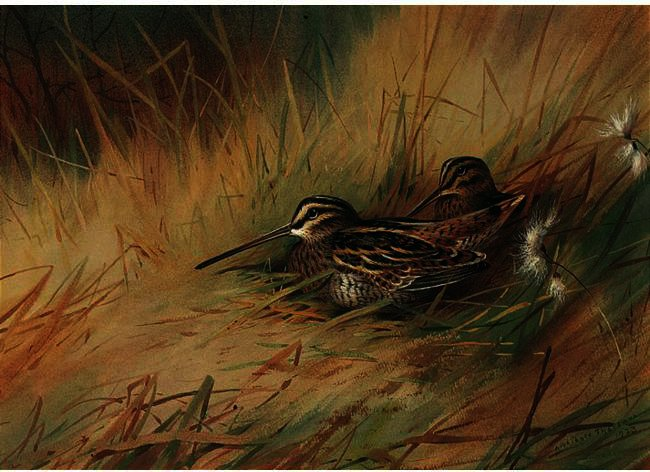 Snipe 2, acquerello di Archibald Thorburn (1860-1935, United Kingdom)