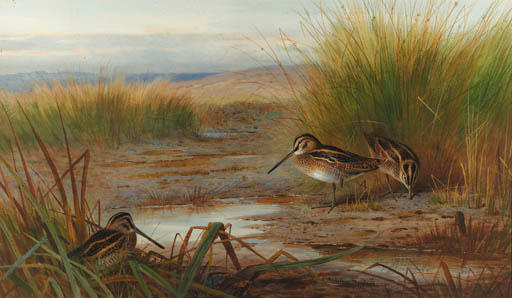 Snipe Alimentazione Rushes Beneath, acquerello di Archibald Thorburn (1860-1935, United Kingdom)