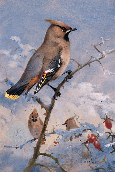 Tre Waxwings su un rosa in Inverno, acquerello di Archibald Thorburn (1860-1935, United Kingdom)