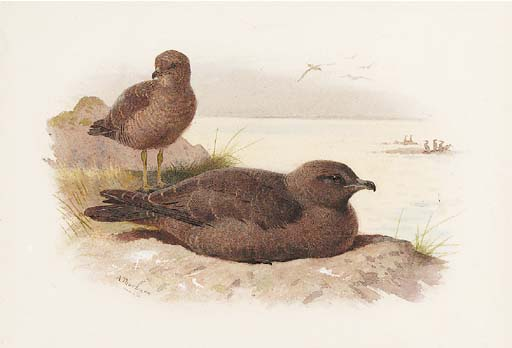 Twisted coda Skua Lestris Pomarinus, acquerello di Archibald Thorburn (1860-1935, United Kingdom)