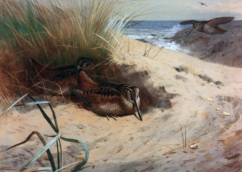 Woodcock tra le dune, acquerello di Archibald Thorburn (1860-1935, United Kingdom)