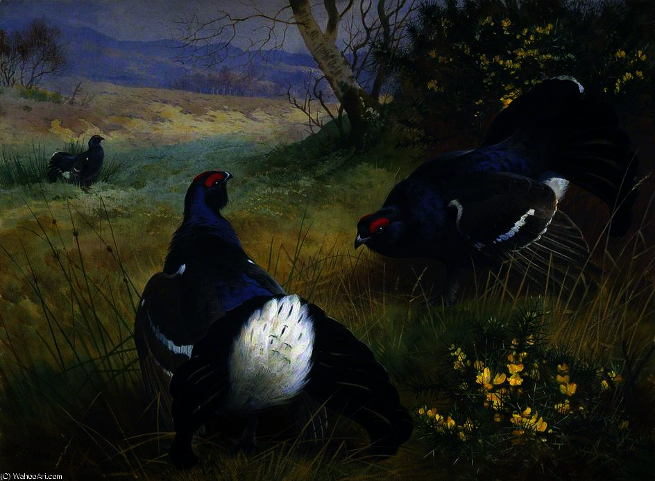 Nero Gallo cedrone  di Archibald Thorburn (1860-1935, United Kingdom)