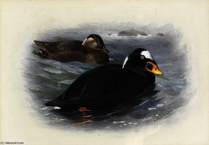 Surf scoter di Archibald Thorburn (1860-1935, United Kingdom)