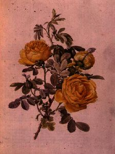 Alfred Parsons - Rosa genere
