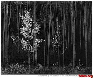 Ansel Adams - Tremule nord del New Mexico An..